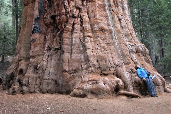 Dev Ağaç